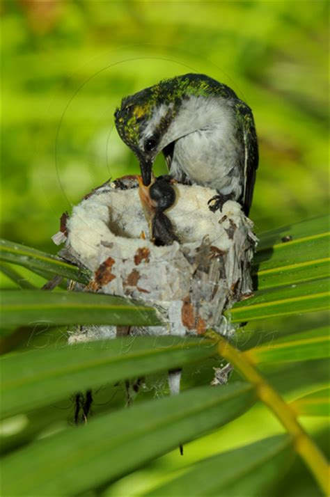 baby hummingbird diet requirements daysnews