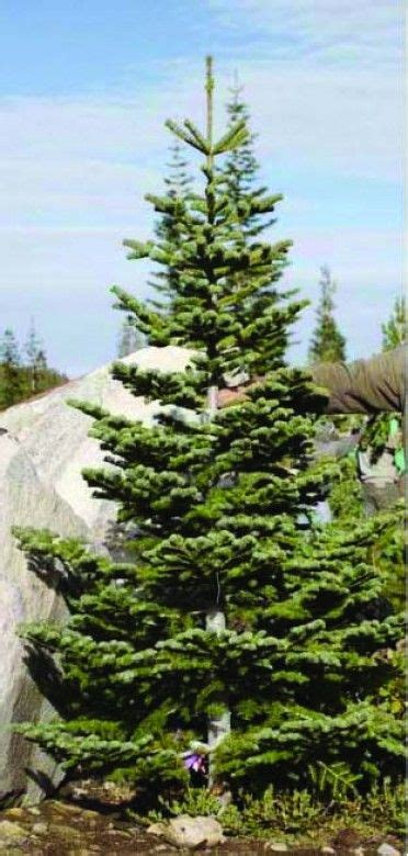 i want a silvertip fir tree merry christmas