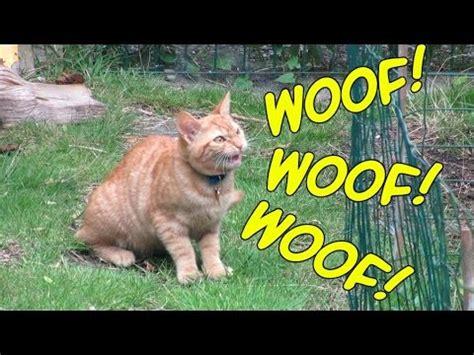 cat barking like cat barks like a