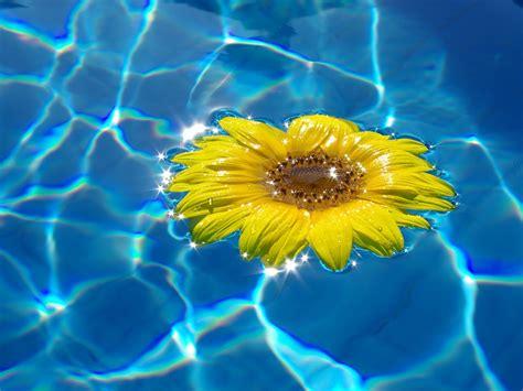 girasoli in vaso girasoli coltivazione e cura in 7 semplici passi