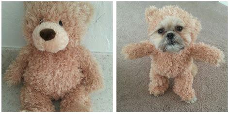 shih tzu teddy costume munchkin the shih tzu and teddy costume