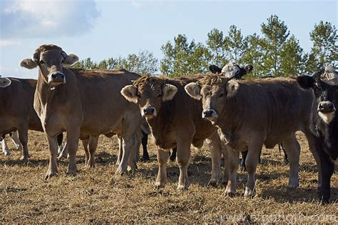 What Is Cowhide Mainly Used For by 5064 Best Farmyard Livestock Families Images On