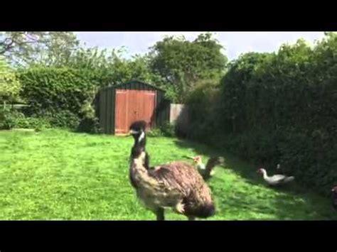 funny emu youtube