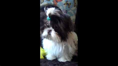 babydoll shih tzu tiny baby doll shih tzu quot andre quot