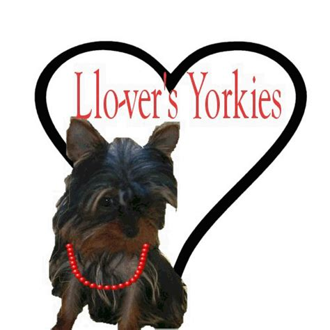 yorkies for sale in houston area quot teacup yorkies for sale ckc terriers for sale houston tx quot