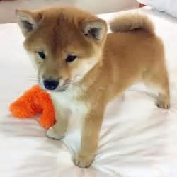shiba puppy best 20 shiba inu ideas on