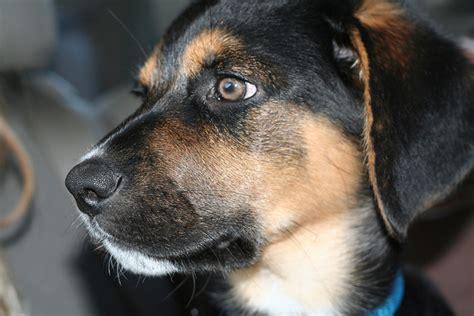 australian shepherd lab mix puppy image gallery lab retriever shepherd mix