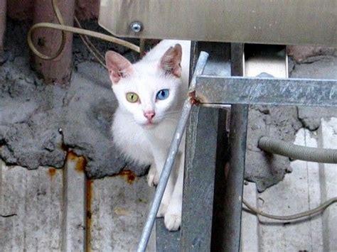 Calendario G Come Gatto Foto I Pi 249 Bei Gatti Che Ci Mostrano Cosa 232 L Eterocromia