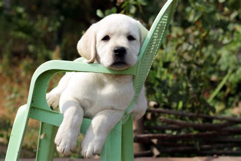 raising a lab puppy advice on raising a puppy when you work time