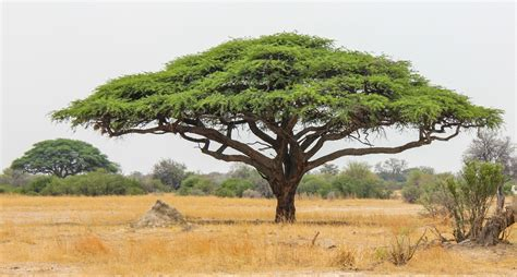 10 things you didn t know about african acacia trees page 5 afktravel