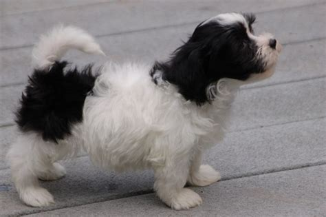 royal flush havanese royal flush havanese puppies for sale nina f2ab royal flush havanese