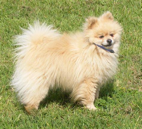 cream pomeranian dog   Strathaven, Lanarkshire   Pets4Homes