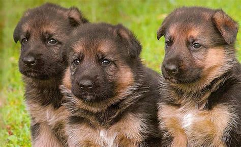 german shepherd puppies from germany black in berlin german dogs are well behaved i like my pets american parlour