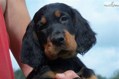 gordon setter dog for sale gordon setter puppy for sale near erie pennsylvania
