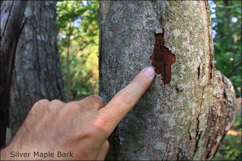 maple tree bark identification silver maple untamed science