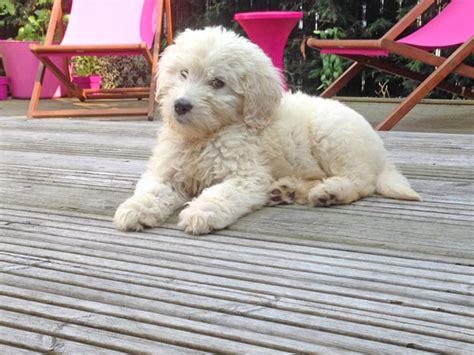 puppy doodle entertainment designer dogs bred originally to assist the