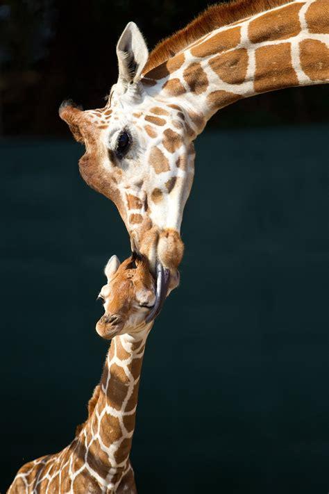 giraffe wallpaper pinterest wonderful baby giraffe and mom hd wallpaper jpg 2 000