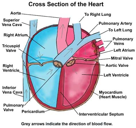 heart cross section diagram diagram of heart cross section choice image how to guide