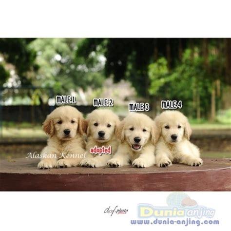 golden retriever puppies auckland dunia anjing jual anjing golden retriever golden