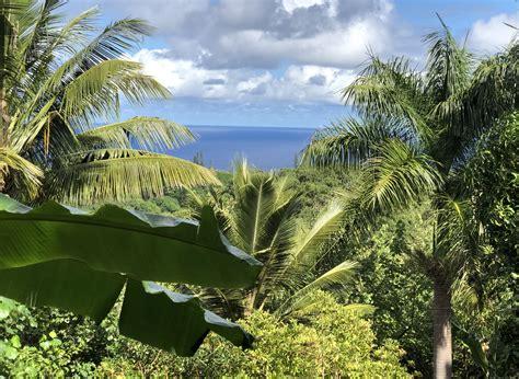hawaiian reforestation effort plants  tree