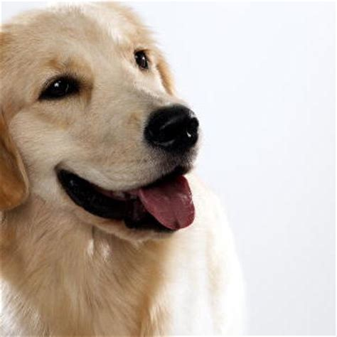 golden retriever dogs 101 golden retriever dogs 101 animal planet