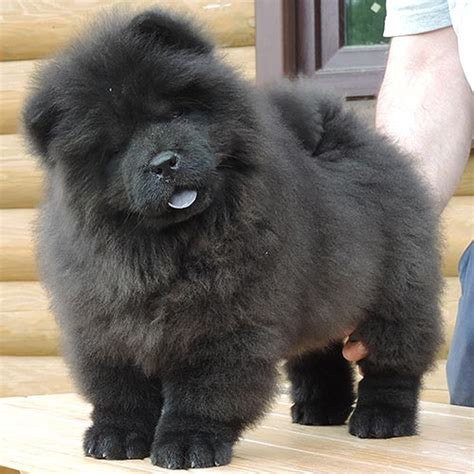 black chow chow puppy black chow chow puppies www pixshark images galleries with a bite