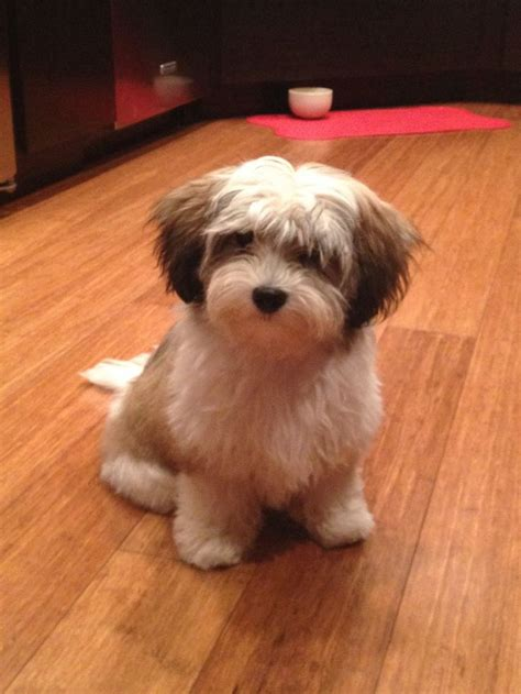 havanese clipped 17 best images about havanese on puppys bar and search