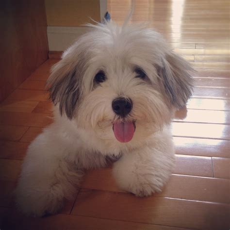 havanese with puppy cut pictures of havanese haircuts breeds picture