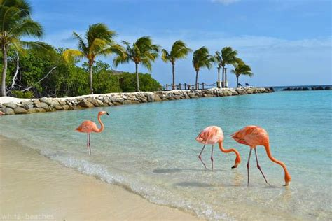 wallpaper flamingo beach every day is special january 25 betico croes day in aruba