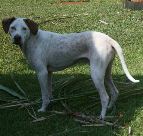 Pointer dog photo and wallpaper beautiful cute pointer dog pictures