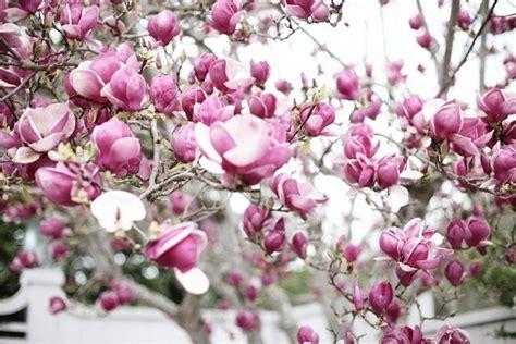 magnolia fiore significato magnolia soulangeana piante da giardino magnolia