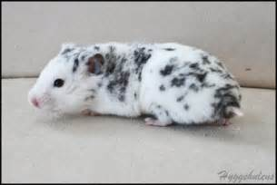 syrian hamster colors syrian hamster colors and patterns www imgkid the