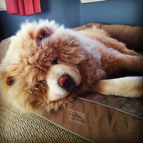 llbean dog bed chow chow on l l bean dog bed best friends pinterest
