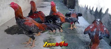 jenis ayam aduan terbaik  dunia berdasarkan gaya tarung zeusbola