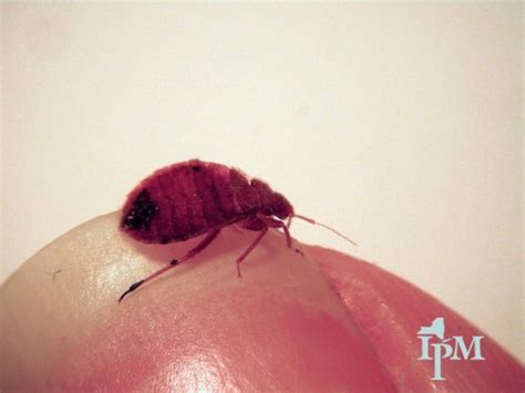 do bed bugs bite in threes what do bed bug bites look like on humans hubpages