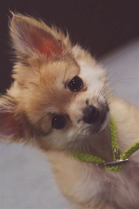 caring for a pomeranian puppy 25 best ideas about pomeranian chihuahua on