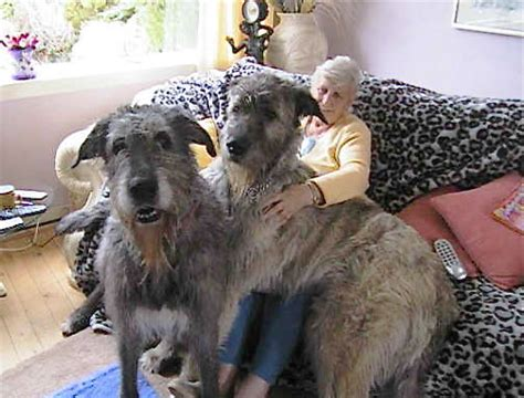 irish wolfhound   Get Write Down To It