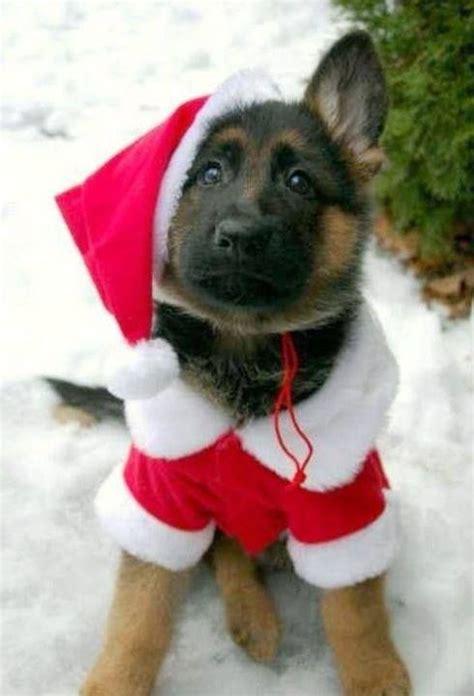 german shepherd puppy ready  christmas german shepherd puppies cute animals shepherd