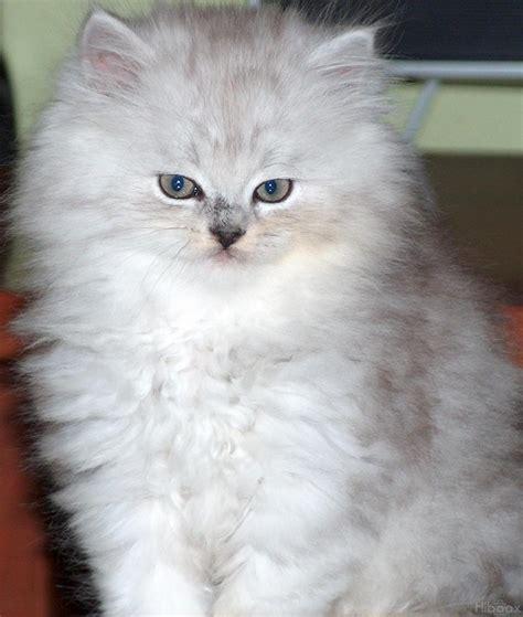 fotos de gatos gatos angora gemelos jpg pictures to pin on pinterest veterinaria protecci 243 n fauna abril 2010