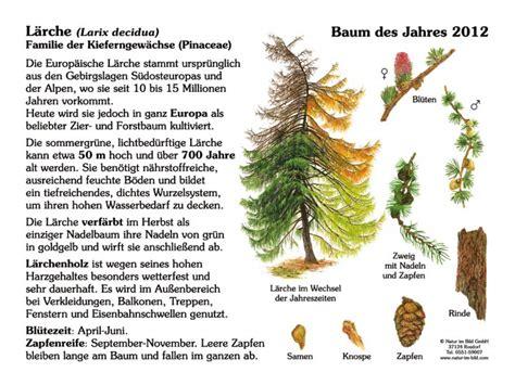 Baum Des Jahres 2012 5368 by L 228 Rche Baum Des Jahres 2012 30x40 Cm Pflanzen