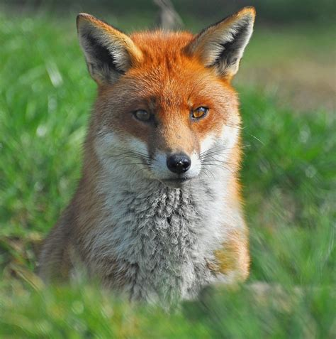 best fox pictures fox wallpapers hd