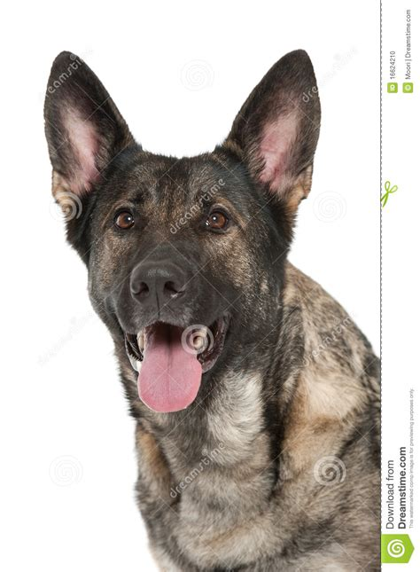 grey german shepherd puppies grey german shepherd stock photo image 16624210