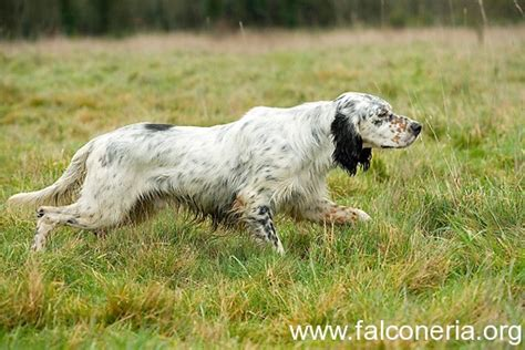 english setter dogs for sale in iowa setter inglese