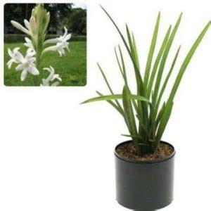 Bibit Bunga Sedap Malam 8 cara menanam bunga sedap malam dalam pot ilmubudidaya