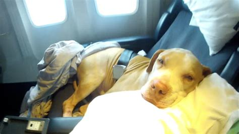 puppy on plane shorty s top dogs on a plane way cuter than snakes pit animal planet