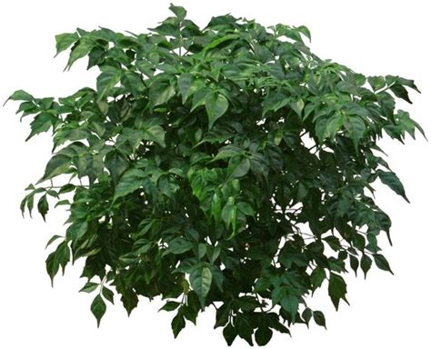 china doll plant poisonous to cats non poisonous houseplants a china doll plant is a