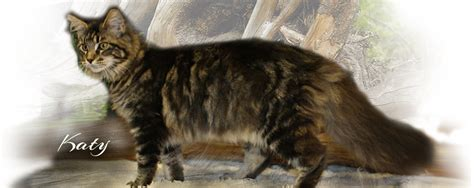 Maine Coon Cats for Sale   from Colossal Cats   Tampa
