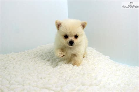 pomeranian near me pomeranian puppy for sale near los angeles california 3c391d1b 9381