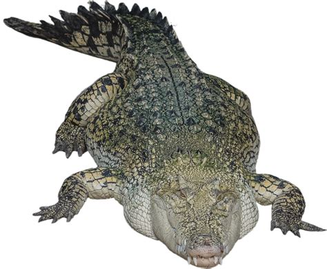 krokodil images crocodile png images free gator png aligator