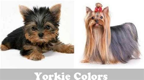 different color yorkies yorkie colors terrier coat colors yorkiemag
